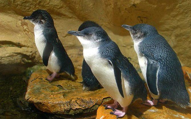 Montague Island Penguin